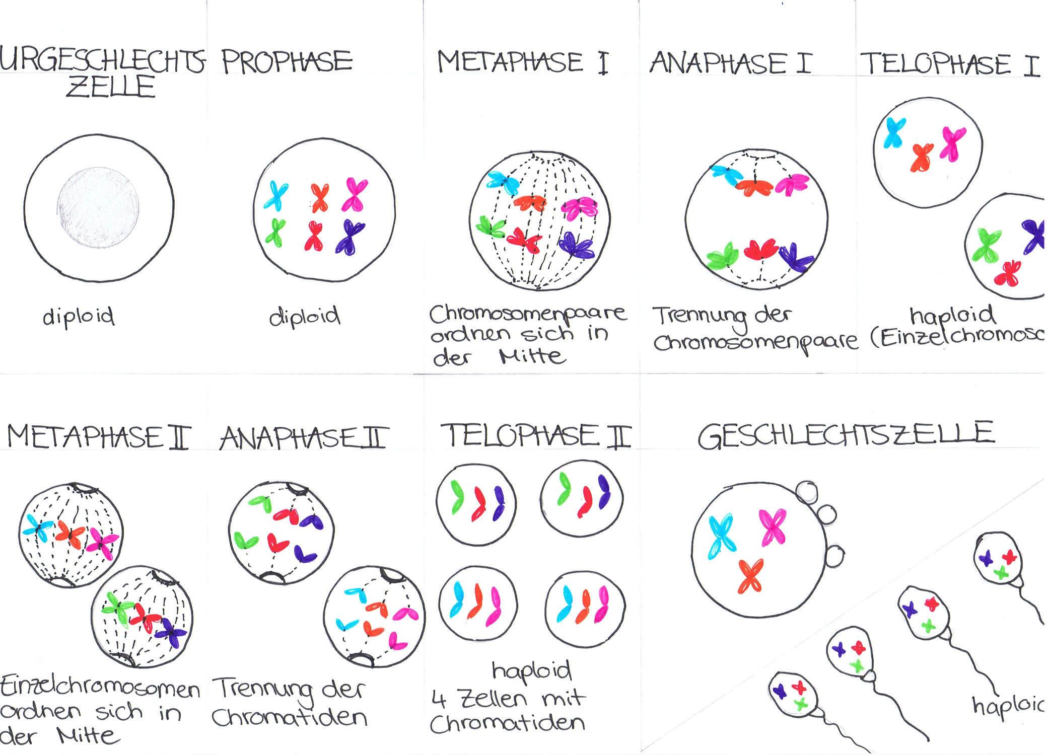 gestörter meioseverlauf biologie
