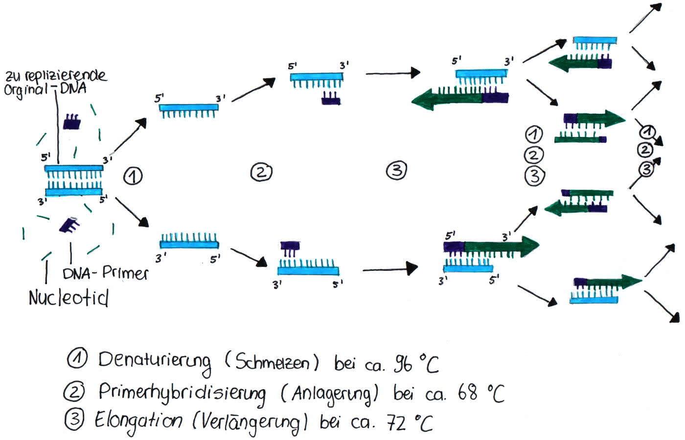 Genetik: PCR - die Polymerase-Kettenreaktion zur DNA-Vervielfältigung