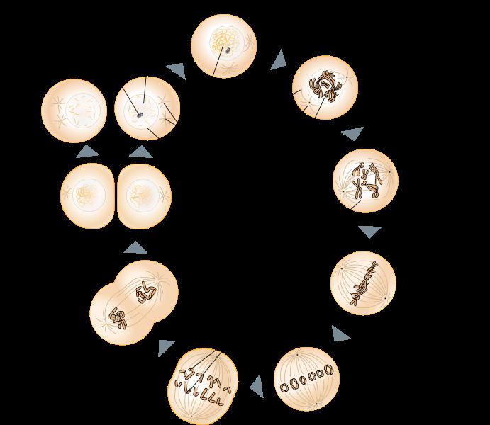 Genetik: Der Zellzyklus (mit Mitose)