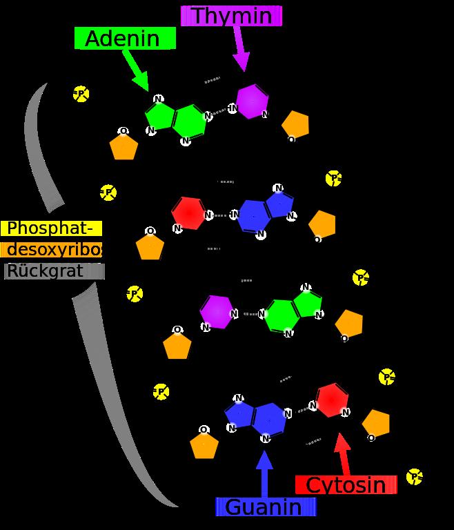 Genetik: Aufbau der DNA und der RNA
