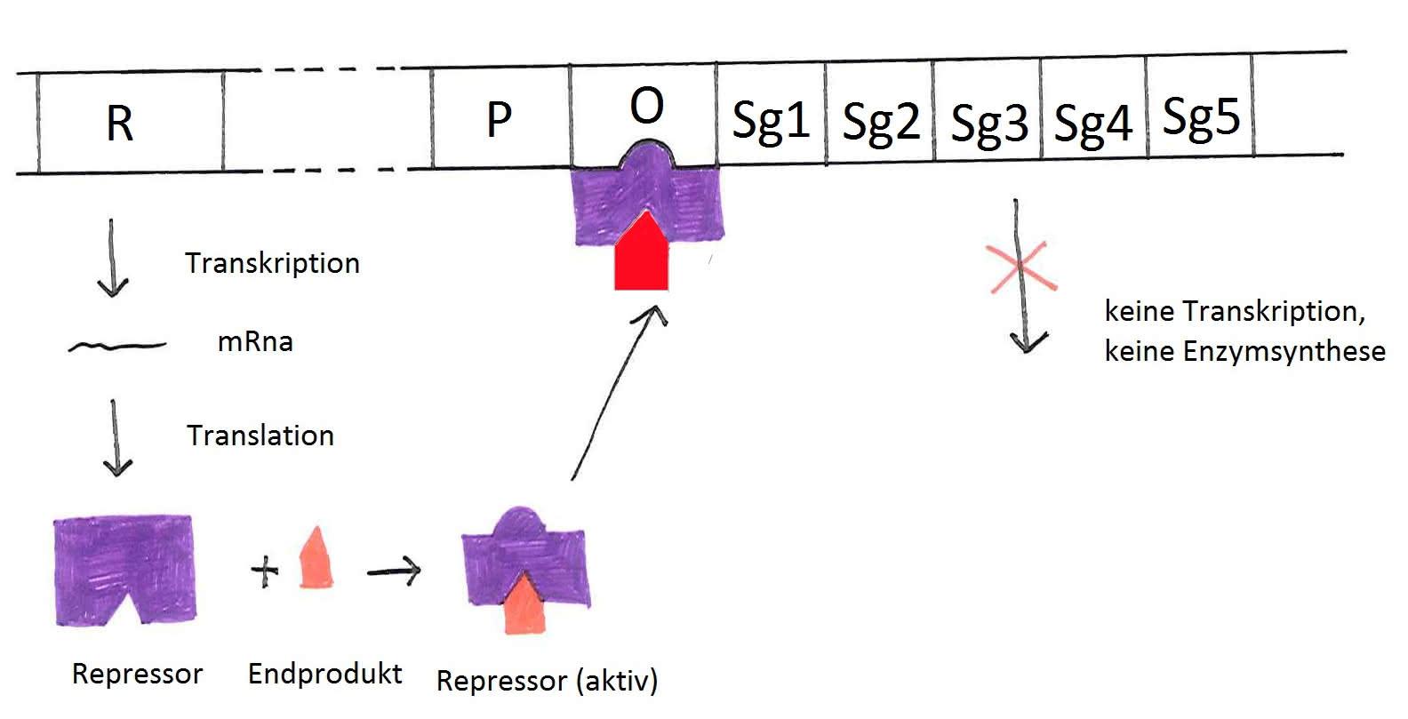 Genetik: Genregulation bei Prokaryoten (Operon-Modell)