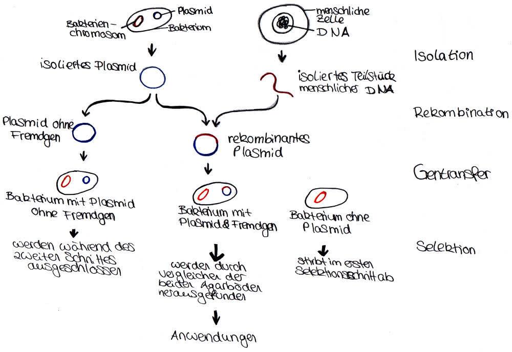 Gentechnik: Methoden der Gentechnik