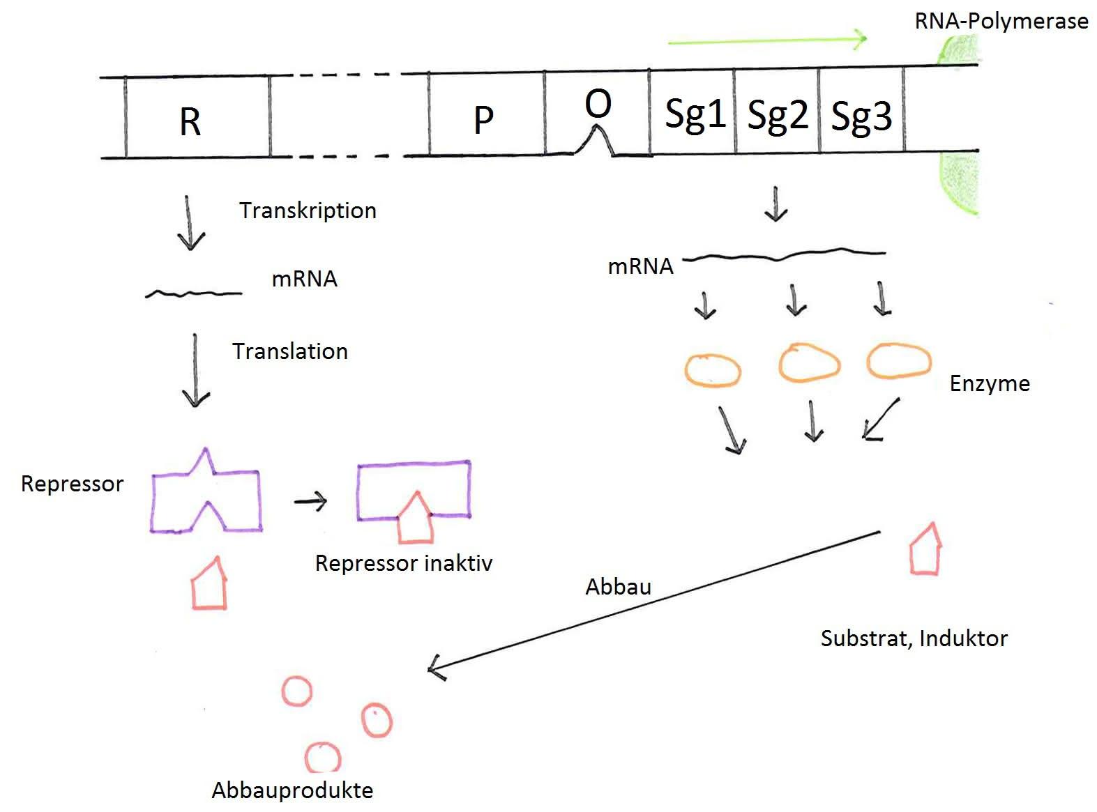 genetik genregulation bei prokaryoten operon modell. Black Bedroom Furniture Sets. Home Design Ideas