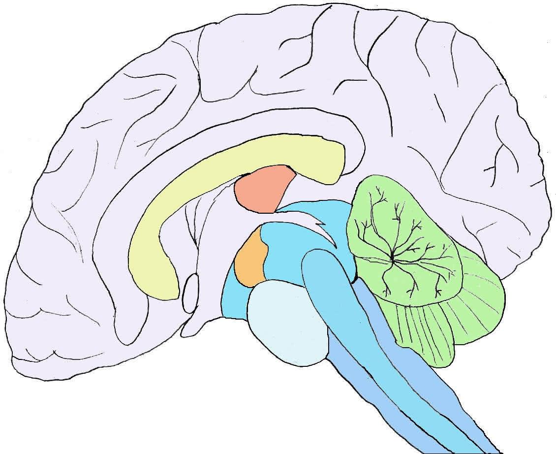 Neurophysiologie: Gehirn (Aufgbau, Entwicklung etc)