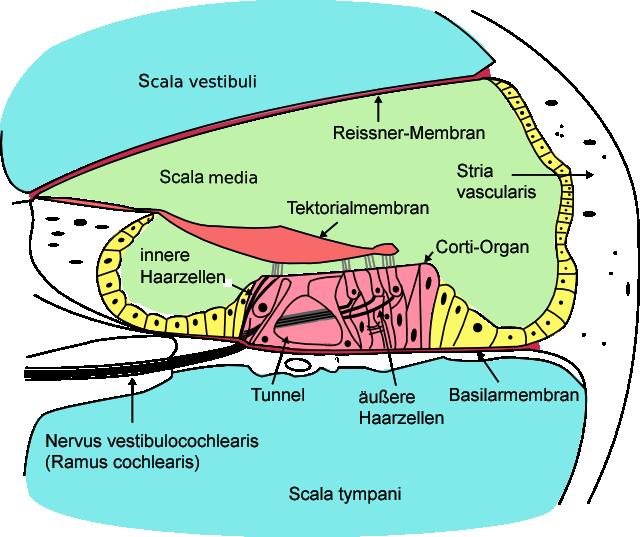 Neurophysiologie: Sinnesorgan Ohr und das Gehör
