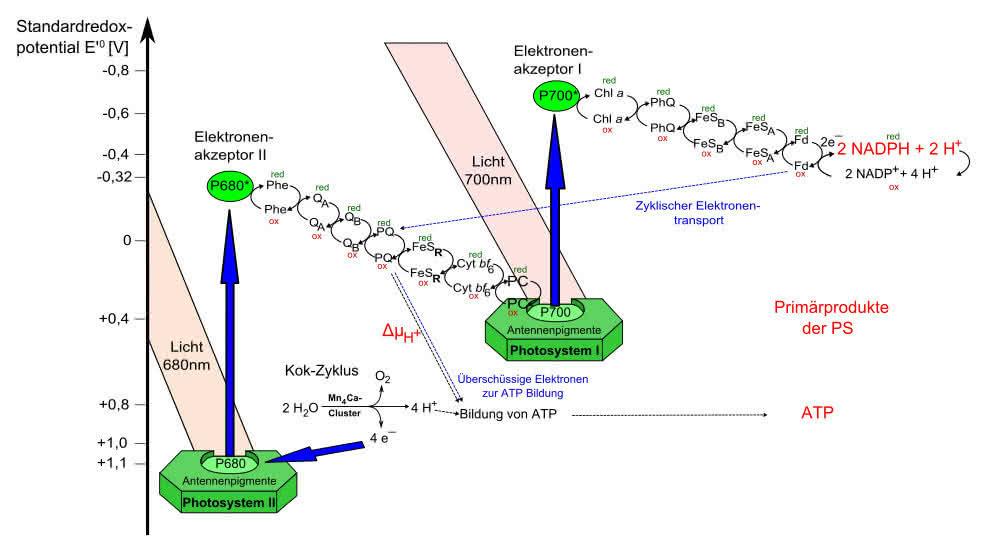 Stoffwechsel: Lichtreaktionen der Photosynthese