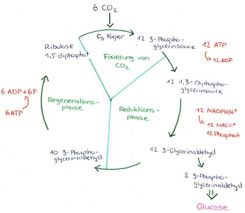 Wie Funktioniert Der Weibliche Zyklus: Stoffwechsel: Dunkelreaktionen Der Photosynthese Mit